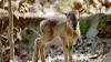 В кишинёвском зоопарке родились пять детенышей муфлона
