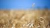 Синоптики пообещали хороший урожай пшеницы