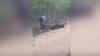 Видео: Гну притворился мертвым, чтобы не драться с соперником