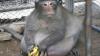 Очень толстую обезьяну в Таиланде посадили на диету