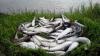 На берегу Охотского моря после отлива остались десятки тонн сельди