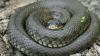 Змеи оказались способны координировать свои действия во время охоты