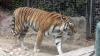 Тигр растерзал сотрудницу британского зоопарка