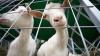 В селе Триколич Каушанского района волки задрали четырех коз