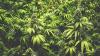У матери-одиночки нашли марихуану на $20 тысяч и обвинили в махинациях с ипотекой
