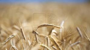 По прогнозам, урожай пшеницы составит в нынешнем году 3,3 тонны с гектара