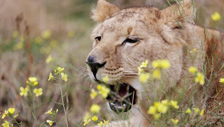 Из заповедника в Африке сбежал прайд из пяти львов