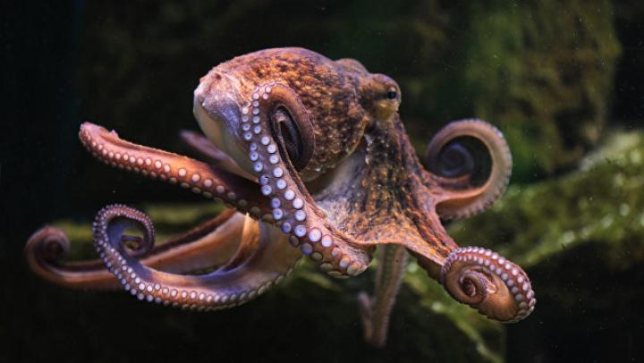 Из океанариума во Владивостоке сбежал 12-килограммовый осьминог