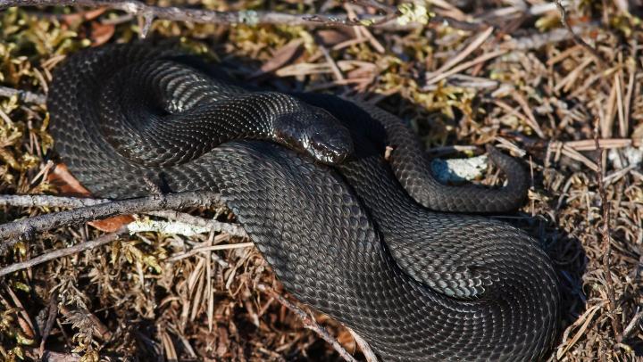 Россиянина задержали в аэропорту Амстердама со змеями и ящерицами в рюкзаке