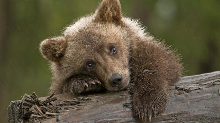 Россиянка преодолела 4000 километров ради спасения медвежонка