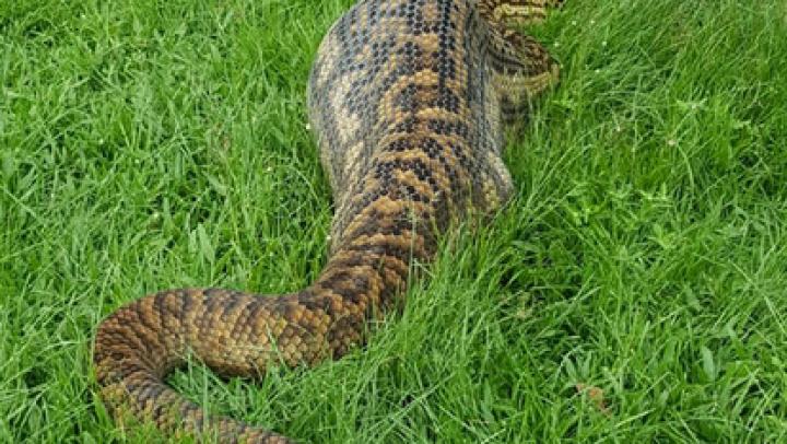 Австралийка нашла во дворе гигантского питона с кенгуру в брюхе