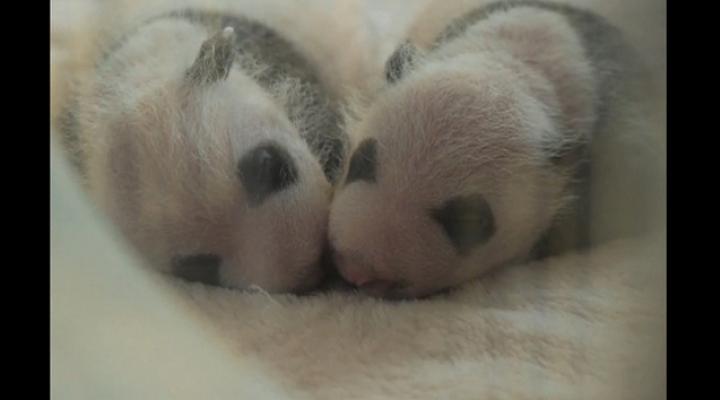 Видео: панды-близнецы родились в Китае