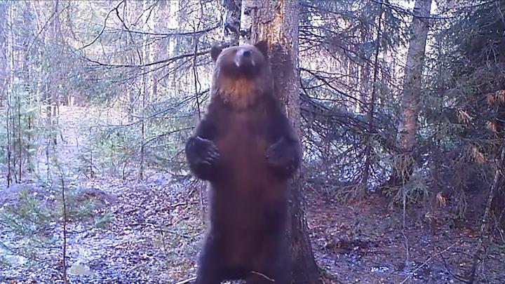 Эротический танец медведя Ферапонта у старой ели тайком сняли на видео