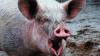 Свинья откусила гениталии мексиканскому фермеру во время драки