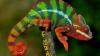 В Африке найдены три новых вида хамелеонов