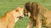 Львица укусила жениха-преследователя, защищая детенышей