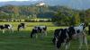 В Британии коровы до смерти затоптали профессора-миллионера
