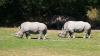 В Малайзии усыпили представителя вымирающего вида носорогов