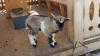 В Индии голодная коза сжевала купюры почти на 1000 долларов