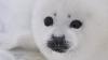 Специалисты выясняют причины массовой гибели тюленей в Белом море