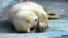 Тюлененка, которого нашли в Петербурге, выпустят в Финский залив
