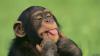 Шимпанзе научились использовать чужой труд