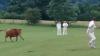 Разъярённая корова выбежала на поле во время матча и сорвала игру