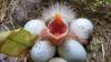 Птицы научились травить клещей в гнездах при помощи сигарет