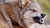 В Подмосковье волк напал на 11-летнюю девочку