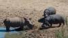 Разъяренный бегемот убил отказавшегося покинуть водопой носорога