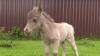 В России родился самый маленький жеребёнок в мире по кличке Гулливер