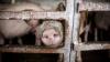 В селе Плоп Дондюшанского района у животного нашли симптомы свиной чумы