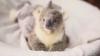 Ветеринары спасли недоношенного малыша коалы, вытащив его из сумки мёртвой мамы
