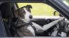 В Португалии автомобилист дал порулить своей собаке: видео