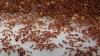 Японию атакуют опасные огненные муравьи