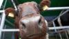 В Катар самолетами доставят 4000 коров для возобновления поставок молока
