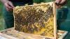 Найдена причина вымирания пчел