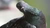 Видео: Обнаглевший голубь сорвал матч на Уимблдоне