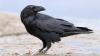 Вороны оказались злопамятными птицами