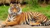 В Британии не будут усыплять тигра, убившего сотрудницу зоопарка