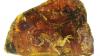 Учёные показали птенца, застывшего в янтаре 99 млн лет назад