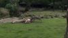В зоопарке Роттердама антилопа насадила жирафа на рога