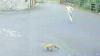 Хозяин в трусах превратил погоню лисы за курицей из триллера в комедию