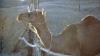 Саудовская Аравия депортировала в Катар 15 тысяч верблюдов