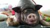 Семья шесть раз переезжала из-за своей громко храпящей свиньи