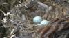 Ученые узнали, почему птицы собирают сигаретные окурки в гнездах