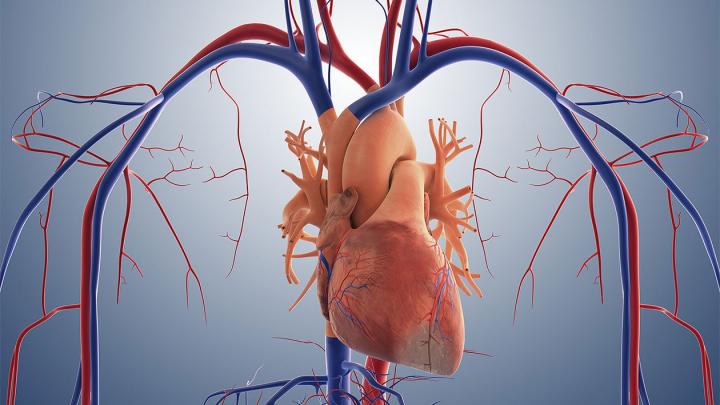 Бактерии защитят сердце во время инфаркта