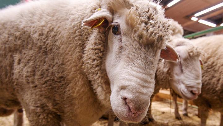 Британские ученые научились по фото различать боль и грусть на мордах овец