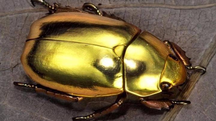Физики разглядели в жуках-скарабеях возможность ускорить интернет