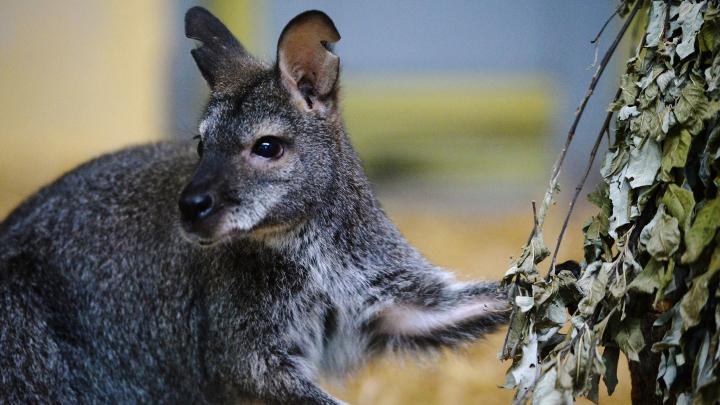 Стая собак загрызла двух кенгуру Беннета в Калининградском зоопарке